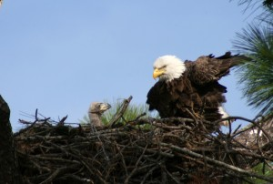 EAGLE AND BABY 2